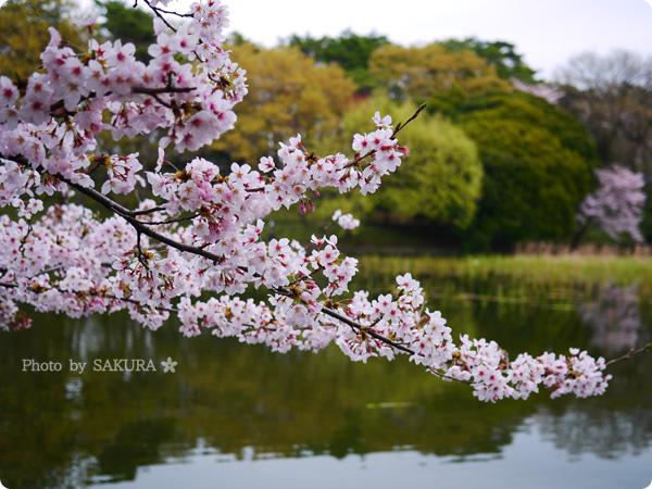 大宮公園 満開の桜と池 2016年4月2日 その2