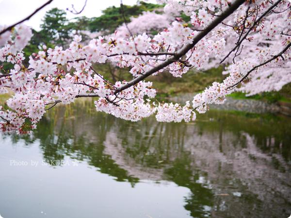 大宮公園 満開の桜と池 2016年4月2日 その3
