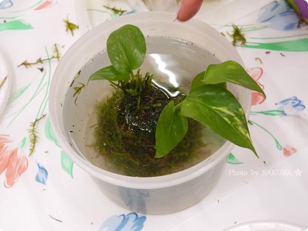 VELTRAベルトラのアクティビティ「季節の苔玉づくり体験」苔玉に水を吸わせる