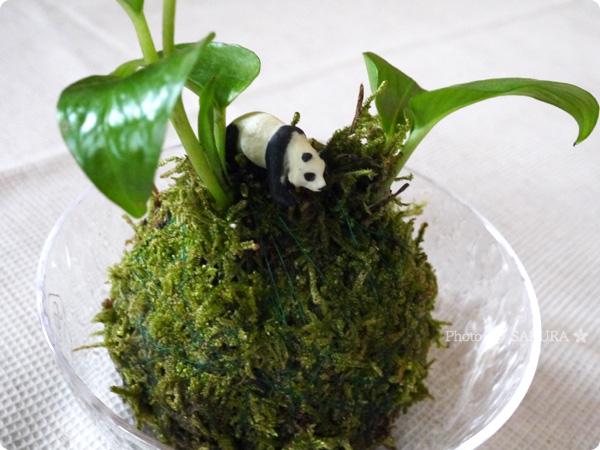 VELTRAベルトラのアクティビティ「季節の苔玉づくり体験」にパンダのミニチュアを1匹