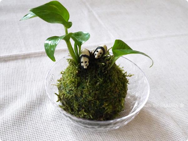 VELTRAベルトラのアクティビティ「季節の苔玉づくり体験」にパンダのミニチュアを2匹