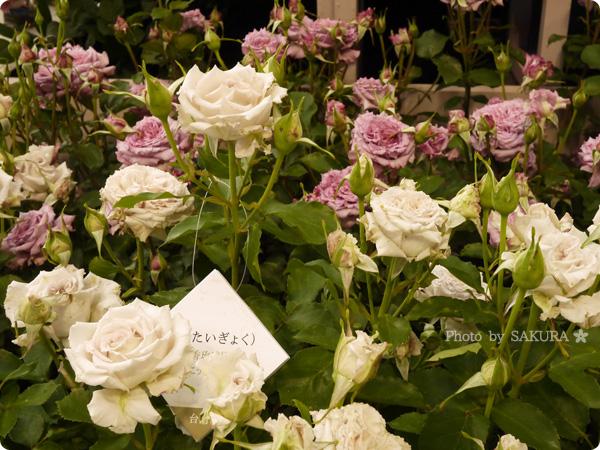 国際バラとガーデニングショウ2016 台湾の「芳香ばら園」の黛玉(たいぎょく)