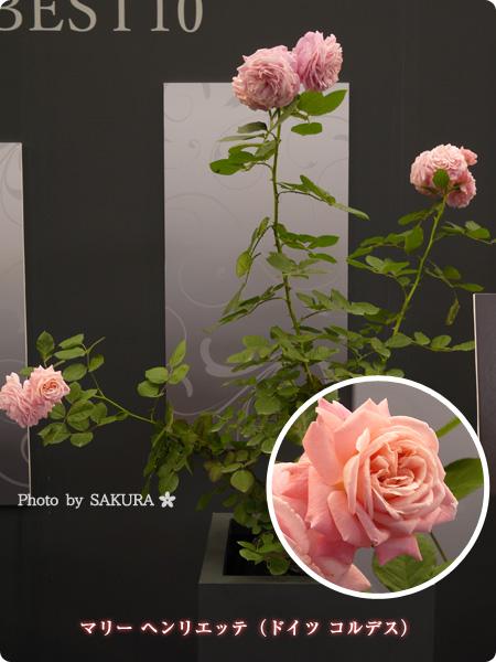 マリー ヘンリエッテ(ドイツ コルデス) 2016年春発表バラ最新品種ベスト10まとめ@国際バラとガーデニングショウ