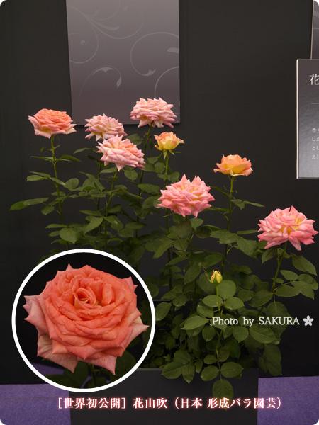 [世界初公開]花山吹(日本 京成バラ園芸) 2016年春発表バラ最新品種ベスト10まとめ@国際バラとガーデニングショウ