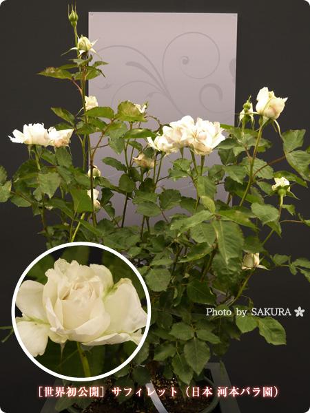 [世界初公開]サフィレット(日本 河本バラ園) 2016年春発表バラ最新品種ベスト10まとめ@国際バラとガーデニングショウ