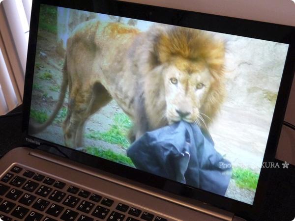 ロフトネットストア 秘密の屋根裏 ライオンが作る「ZOOジーンズ」 実際にライオンが遊んでいる図