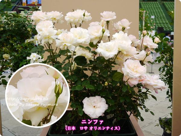 国際バラとガーデニングショウ 2017年春発表バラ最新品種ベスト10 ニンファ(日本 バラの家 ロサ オリエンティス)