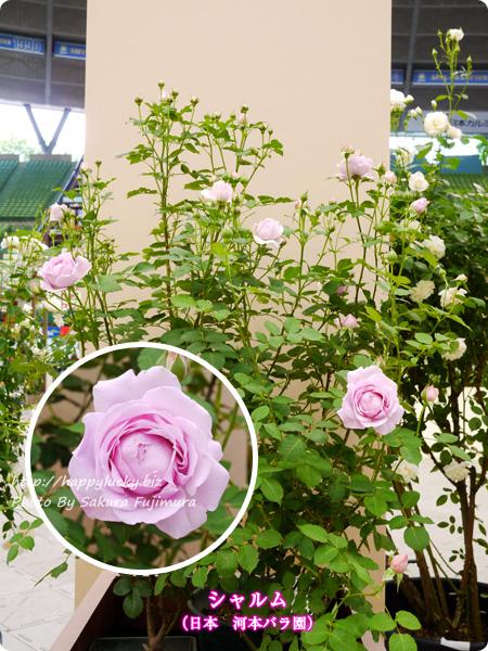 国際バラとガーデニングショウ 2017年春発表バラ最新品種ベスト10 シャルム(日本 河本バラ園)