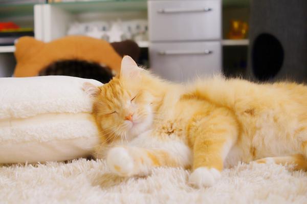 猫が枕で横寝