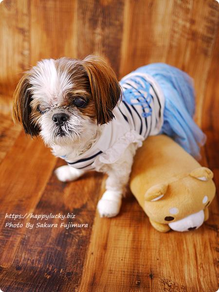 愛犬シー・ズー鈴(りん)15歳の誕生日を迎えました