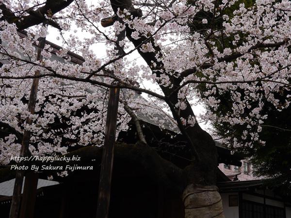 【桜2019】靖国神社 ソメイヨシノ桜