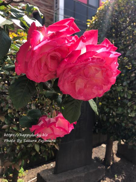 柏神社 薔薇