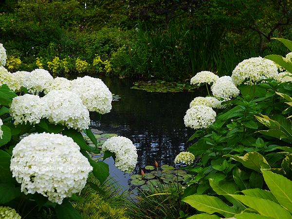 西武池袋本店屋上空中庭園 モネの庭「睡蓮の池」その3