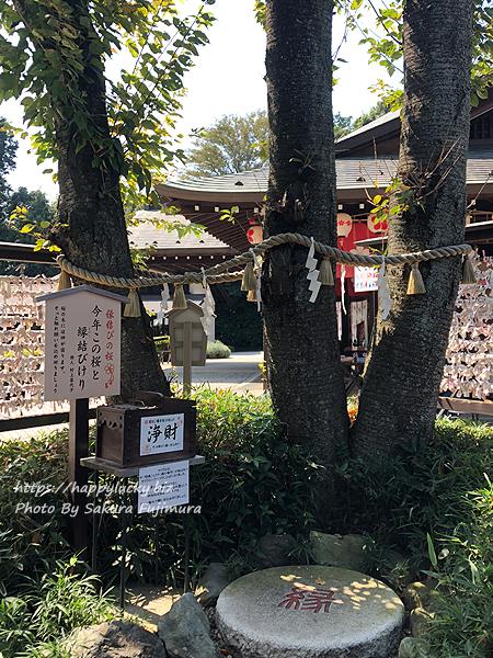 千葉県野田市 櫻木神社 縁結びの桜