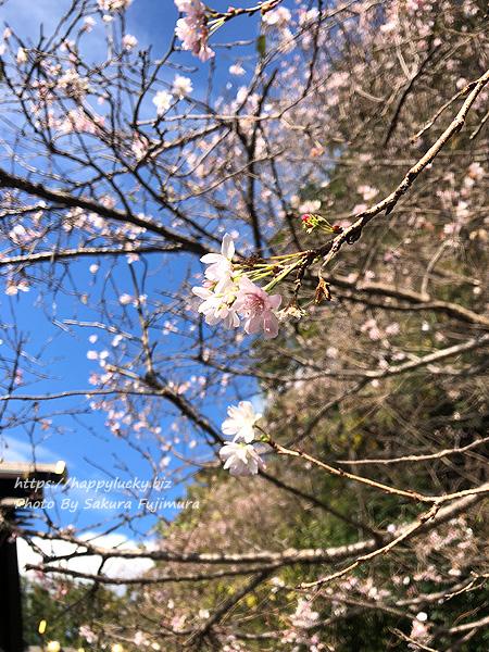 千葉県野田市 櫻木神社 七五三桜